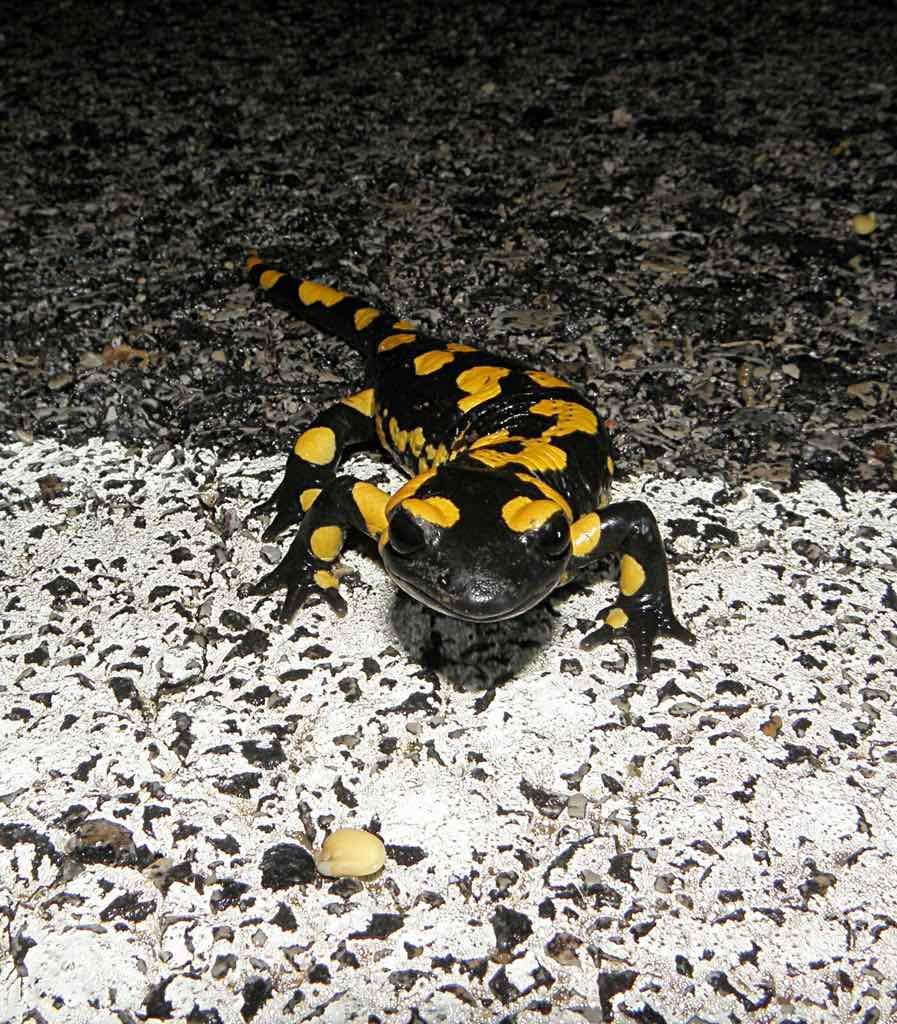 Censo de anfibios de otoño AMELGAR